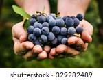grapes harvest. farmers hands... | Shutterstock . vector #329282489
