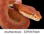 eyelash viper  bothriechis... | Shutterstock . vector #329347664