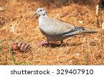 Eurasian Collared Dove Walking...