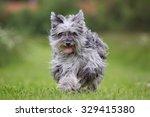 purebred pyrenean sheepdog... | Shutterstock . vector #329415380