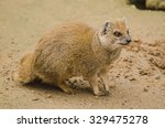 Yellow Mongoose    Cynictis...
