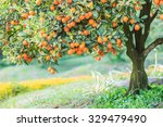 orange on the tree and orange... | Shutterstock . vector #329479490