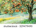 Orange   Orange Tree Orange...