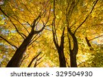 Small photo of looking up into the Sun-lite Fall foliage