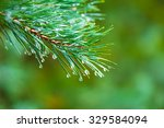 Branch Of A Coniferous Tree...