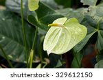 Green Flamingo Flower With...