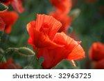 red poppy   common . classic