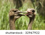 Two Ostriches Bickering