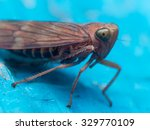 Brown leaf hopper with green eyes on bright blue surface