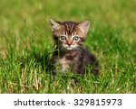 Stock photo pretty cute striped cat sits in the grass 329815973