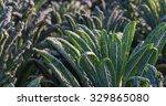 Closeup Of Lacinato Kale Or...