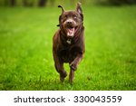 Stock photo dog running through a meadow 330043559
