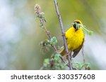A Southern Masked Weaver...