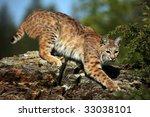 Adult Bobcat On A Rocky Ridge.