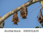 Bats Or Little Red Flying Foxe...