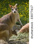 Female Wallaby With Joey In...