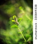 Small photo of order Lepidoptera, dark color hairy wurm eating young green leaves on a tree in summer time outdoor with natural background