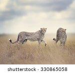 two cheetahs walking in tall... | Shutterstock . vector #330865058
