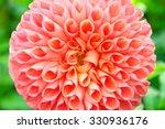 The Peach Colored Dahlia Flower ...