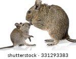 Cute Small Baby Rodent Degu Pe...