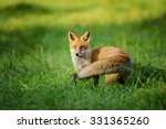 Red Fox Standing In Grass From...