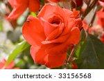 scarlet roses on yours bush