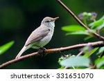 Small photo of Perching Blyth's reed warbler (Acrocephalus dumetorum)