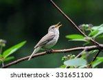 Small photo of Singing Blyth's reed warbler (Acrocephalus dumetorum)
