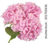 Pink Flower Hydrangea On White...