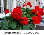 Red Garden Geranium Flowers  ...