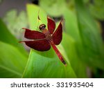 Red Dragonfly Resting On Lotus...