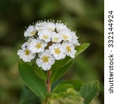 Small photo of A macro shot of the blossom of a spiraea bush.