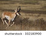 A Male  Buck  Pronghorn...