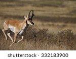 A Male  Buck  Pronghorn...