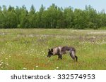 black phase grey wolf  canis... | Shutterstock . vector #332574953