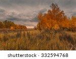 Golden Birches At Autumnal...