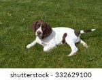 old danish pointer puppy... | Shutterstock . vector #332629100