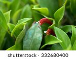 Small photo of Aeschynanthus micranthus, Gesneriaceae, Myanmar-India