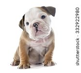 Stock photo puppy english bulldog in front of white background 332922980