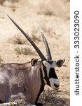 gemsbok  oryx gazella dominant... | Shutterstock . vector #333023090