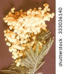 Small photo of Vintage looking Yellow Mimosa flowers of Acacia dealbata plant aka silver wattle, blue wattle flower plant