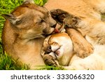 male and female pumas panthera... | Shutterstock . vector #333066320