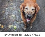 Muddy Golden Retriever In The...