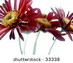 Modern style gerber daisies. - stock photo