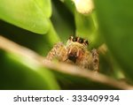 small jumping spider live in