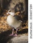 Small photo of adult Egyptian Goose, Alopochen aegyptiacus