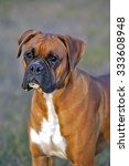 Boxer Male Standing In Meadow...
