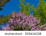 Lilac Bush Pink Or Mauve With...