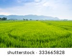 Rice Fields Of Green With...