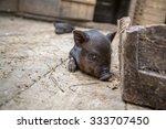 curious little piglet on a farm ...   Shutterstock . vector #333707450